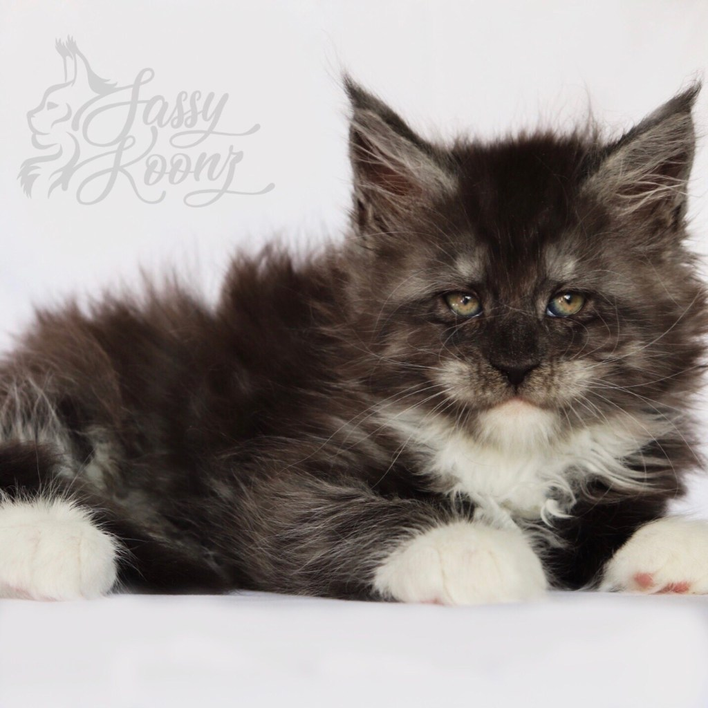 Reputable Maine coon bReeders