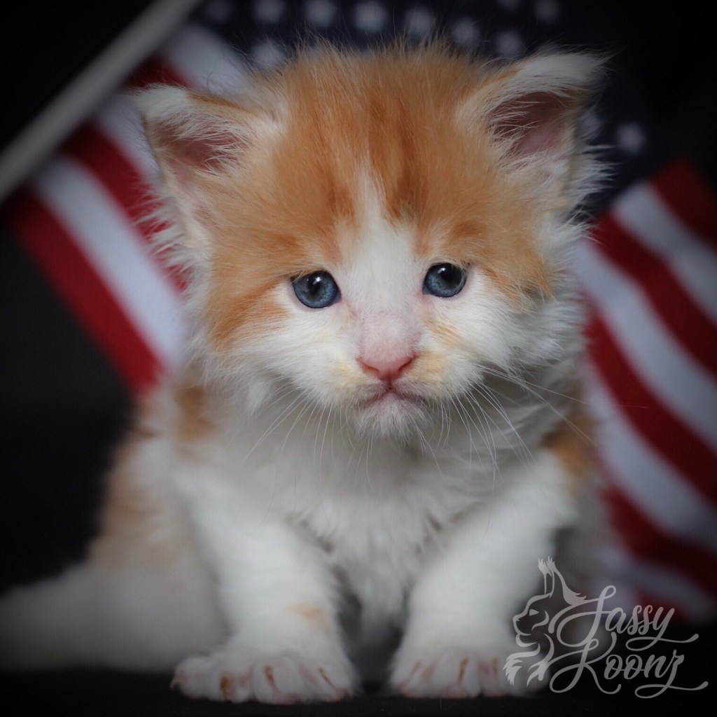 Red and White Maine Coon Kitten