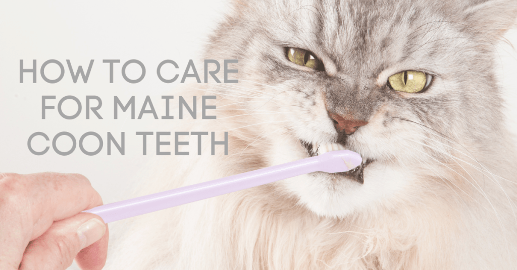 how to care for maine coon teeth