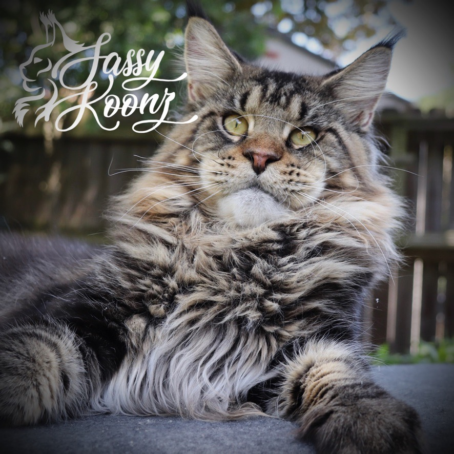 Maine coon male