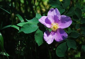 Nootka rose is showy and fragrant along the Hagen Trail.