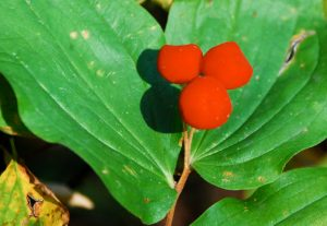The fruit of fairy bells is actually a capsule not a berry, divided into 3 compartments.