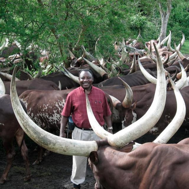 President Ramaphosa's Ankole cattle just sold for R2.7 million – with bull 'Mufasa' voted best
