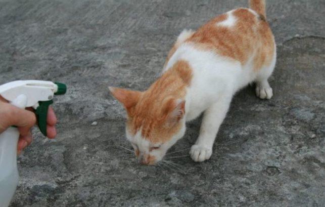 Cara menghilangkan jamur pada kucing - Semprot dengan spray anti jamur