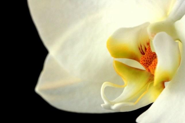 wallpaper gambar bunga anggrek bulan