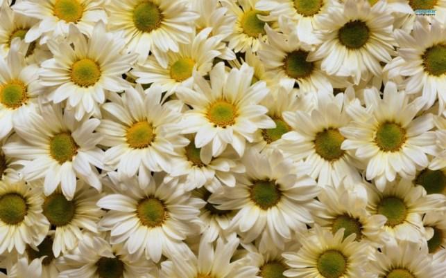 wallpaper gambar bunga matahari putih