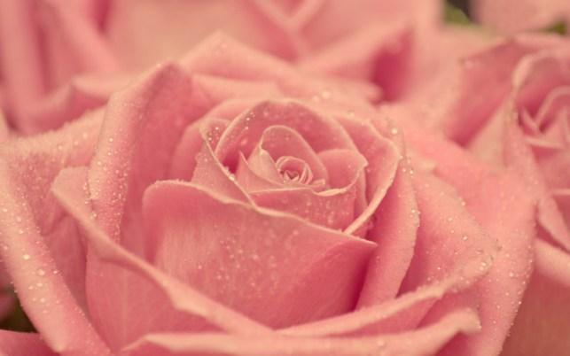 wallpaper gambar bunga mawar merah muda