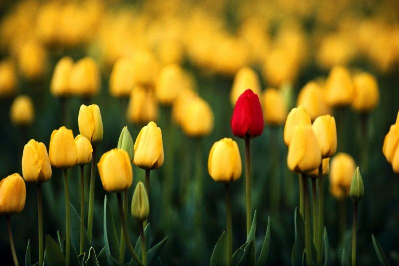 wallpaper gambar bunga tulip kuning