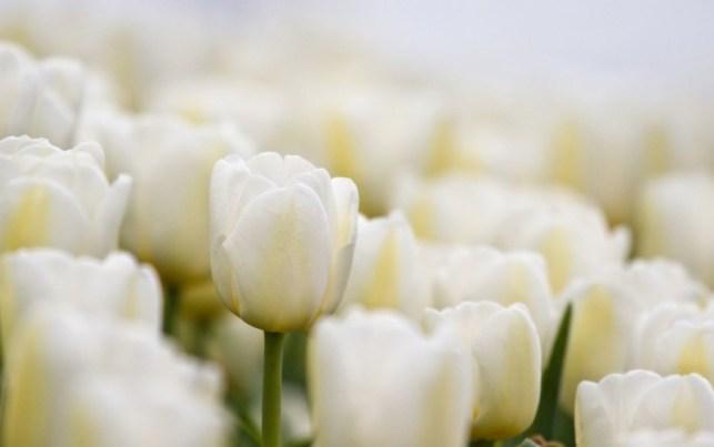 wallpaper fambar bunga tulip putih