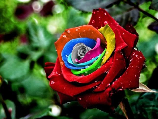 gambar mawar warna