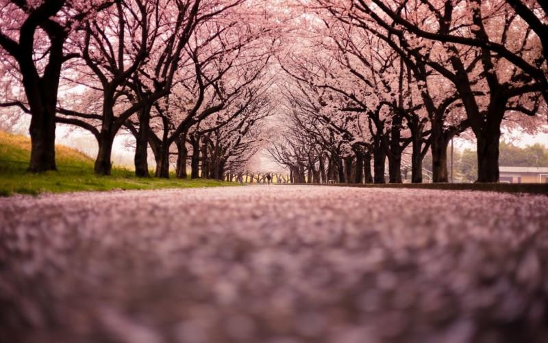 wallpaper gambar taman bunga sakura