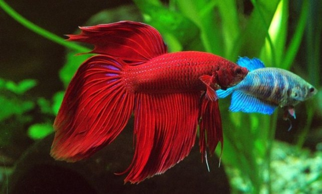jenis ikan cupang adu spendens siamese fighting fish