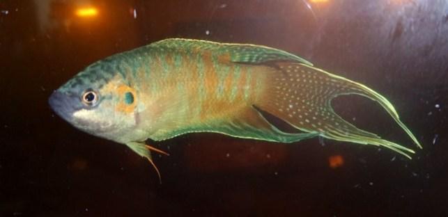 ikan cupang liar wild betta
