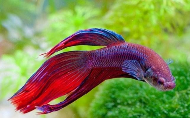 jenis ikan cupang hias veiltail