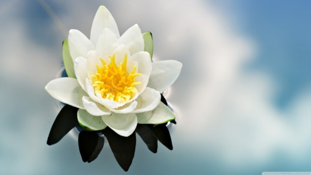 wallpapaers gambar bunga teratai putih