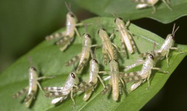 belalang sebagai makanan semut rangrang