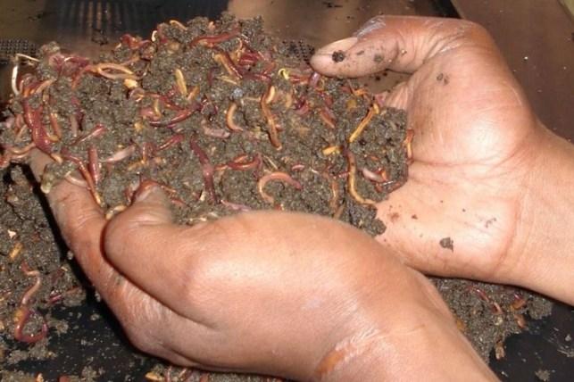 makanan kesukaan semut rangrang cacing tanah