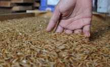 ulat hongkong sebagai makanan semut rangrang