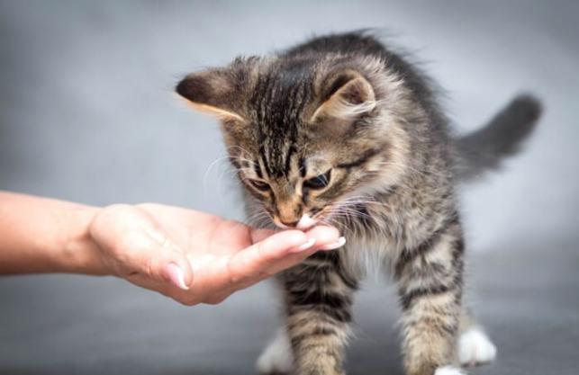 makanan anak kucing yang baik