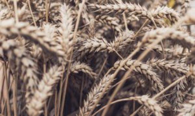 Weizen, Glutenunverträglichkeit, Zöliakie