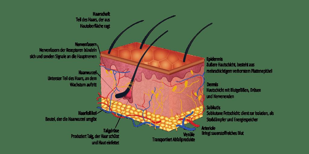Aufbau und Struktur der Haut