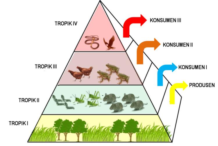 Gambar piramida makanan