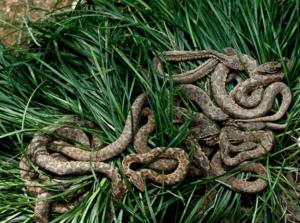 Кеймада-Гранди. Обиталище змей