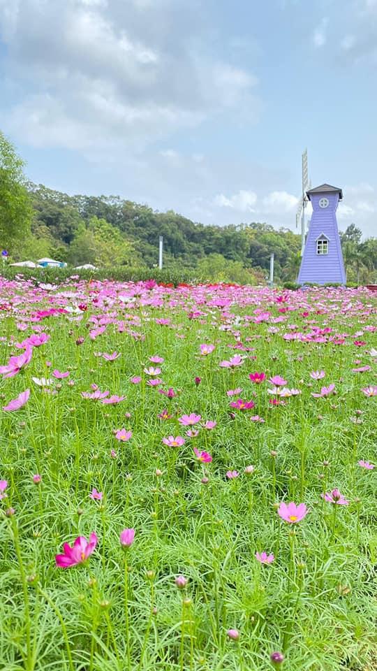 浪漫紫色的風車,荷蘭風車同粉紅格桑花田一齊打卡,出黎既效果好似去左轉荷蘭咁呀~(圖片來源:FB@蝶豆花園 Butterfly Valley)