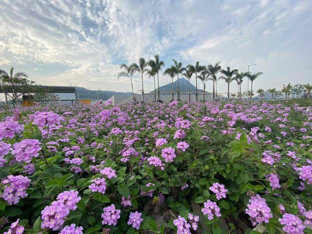 不過紫色馬纓丹花田在香港真的十分罕見,大家要好好愛惜,切勿踐踏或躺在花朵上呀!(圖片授權轉載:IG@pinkywu20)