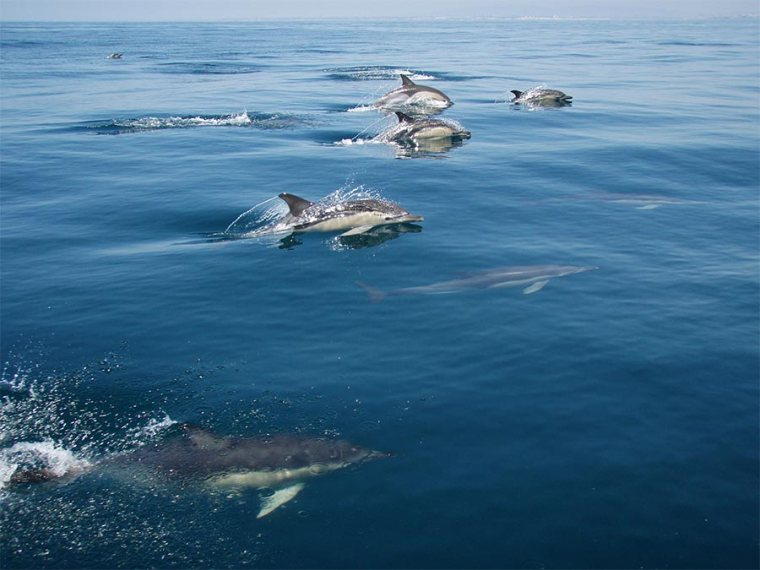 Dolfijnen Algarve