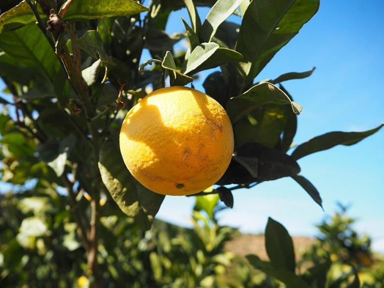 Sinaasappels uit de Algarve | Saudades de Portugal