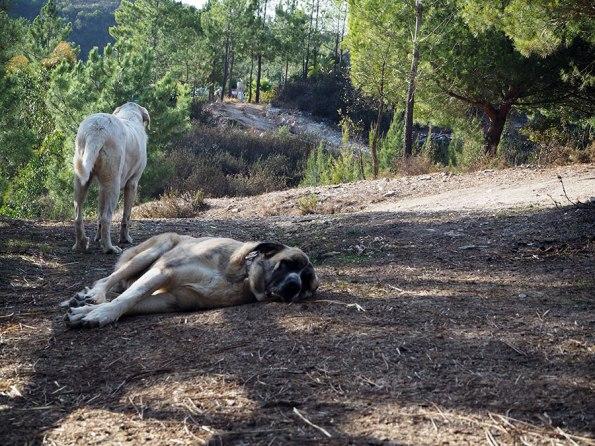 Portugese Hondenrassen