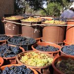 Agro-Toerisme: Vindima