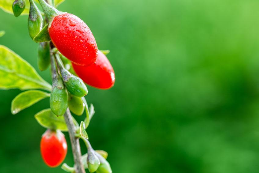 Goji Berry na Natureza