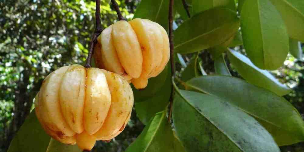 garcínia cambogia