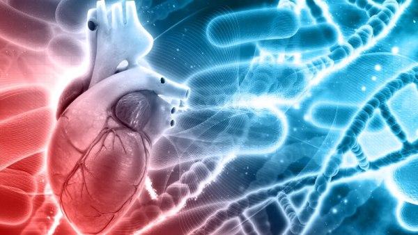 regeneração células cardíacas