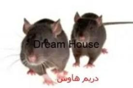 تكاثر الفئران