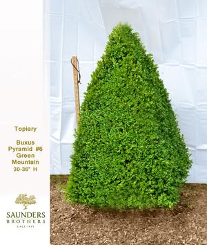 Boxwood Topiary Pyramid 6 Green Mountain 3036quot H from