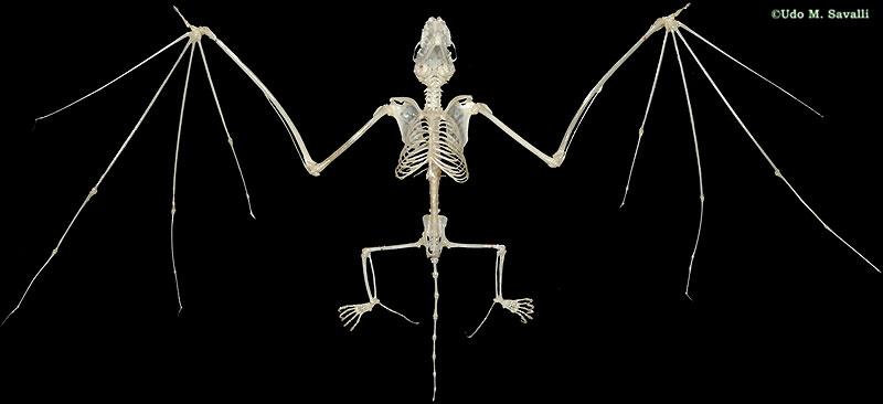 Body Of Sternum Diagram Bio370 Mammal Skeletons