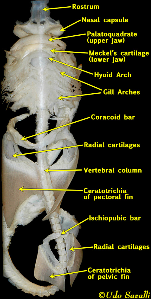 dog skeleton diagram labeled quadrajet electric choke wiring bio370-shark