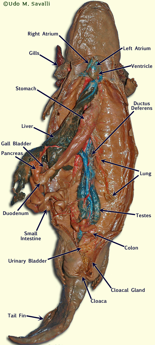 shark skeleton diagram headphone jack charm bio370-necturus dissection