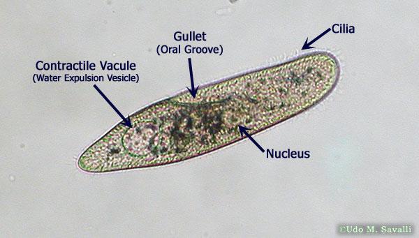 Gallery Euglena Under Microscope Labeled