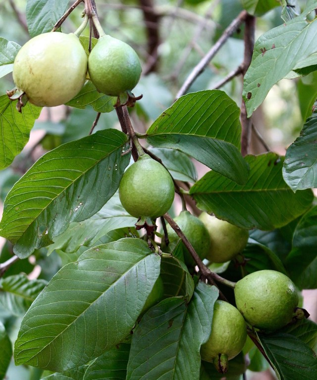 Ripening guavas on one of our trees.