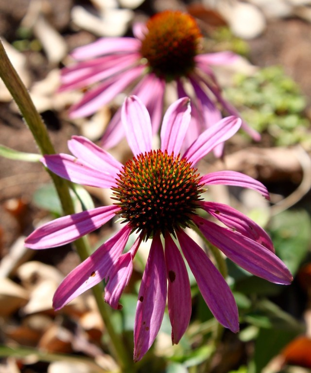 Edible flowers - echinacea