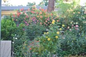 My vine roses on my fence