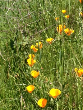 California Poppies Mom Saw by the Bay
