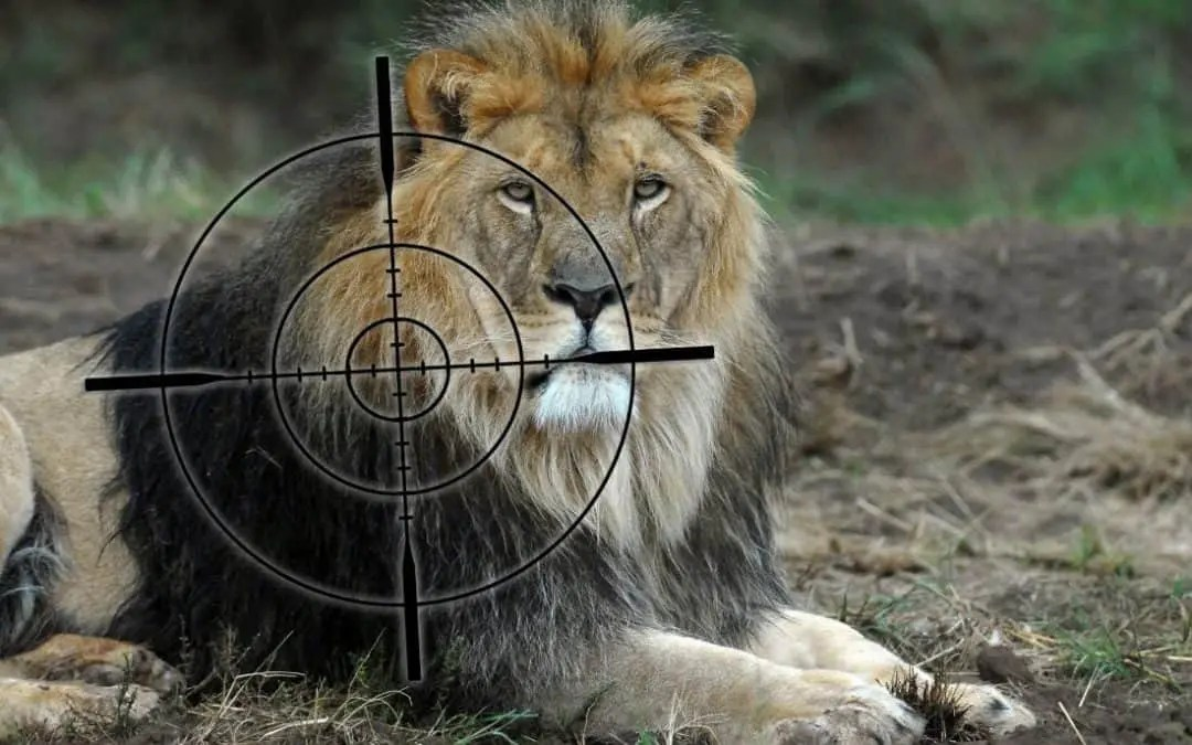 Zlatan Ibrahimovic accused of canned lion hunting in Mzansi