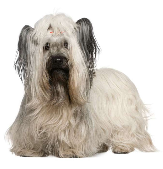 Skye Terrier  save a rescue