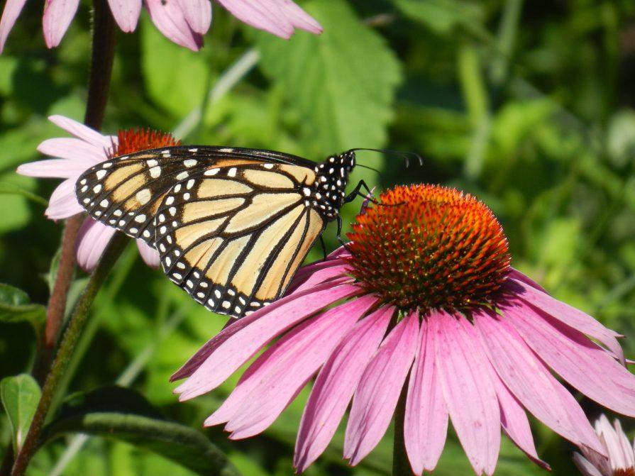 Monarch in Wildflowers 023