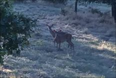 Black-Tailed Deer, Young Buck